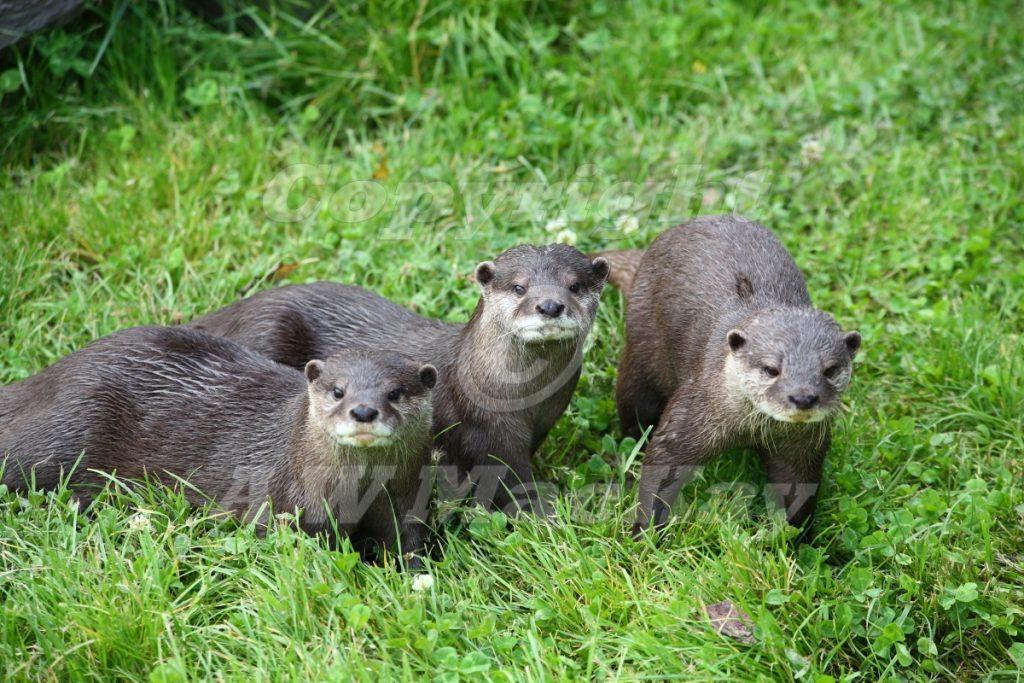 Otter Trio